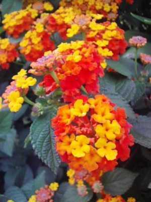 赤とイエローのかわいい花