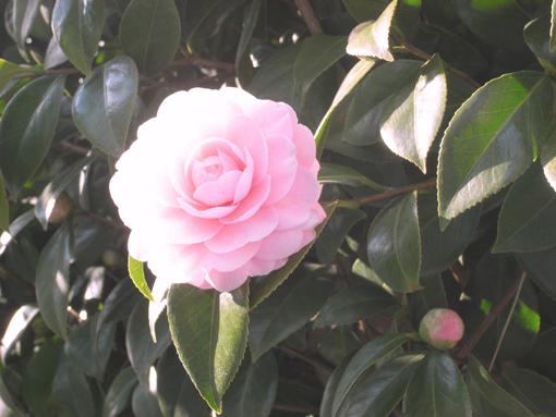 薔薇のコピー