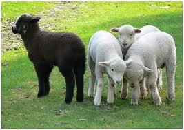 sheep warm
