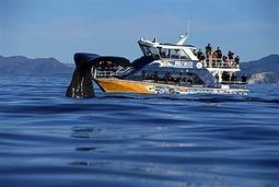 カイコウラ クジラ