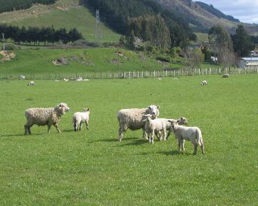 adult-sheep(縮小)