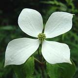 ヤマボウシの花�