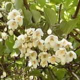 エゴノキの花�
