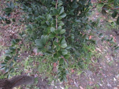 クロソヨゴの葉