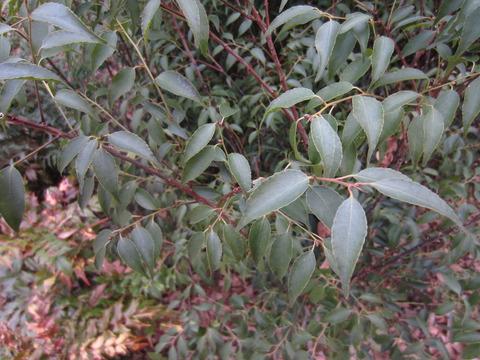 ハイノキの葉