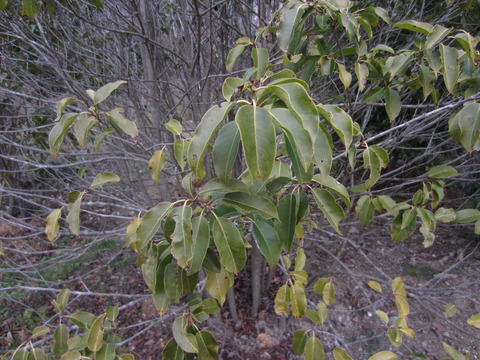 ソヨゴの葉