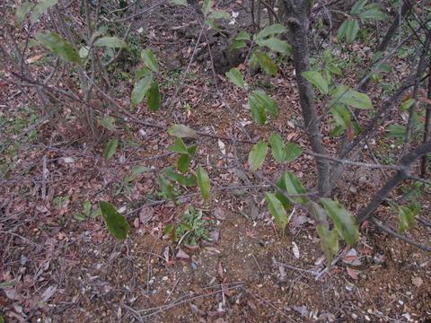 リンボクの葉