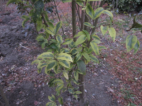 常緑のヤマボウシの葉