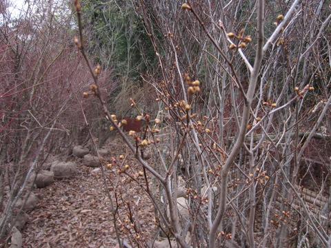 シロモジの芽