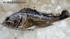 クロソイから基準を超える放射性物質が検出 福島県沖