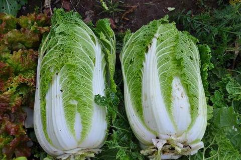 虫食い野菜は農薬なしは嘘