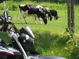 ラワンの牛