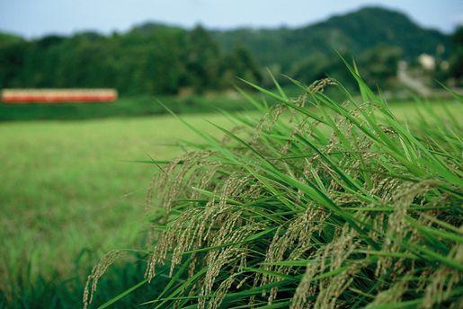 小湊鉄道・実りの稲