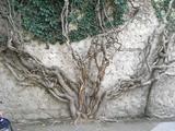 カーンの宮殿壁を守る桑の木