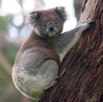 640px-Koala_climbing_tree