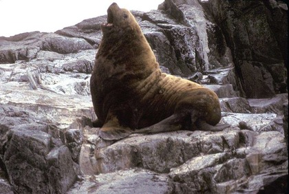 1024px-Adult_male_Northern_Fur_Seal