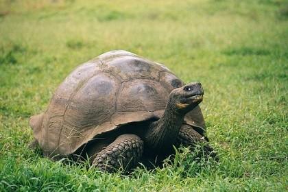640px-Galapagos_Geochelone_nigra_porteri