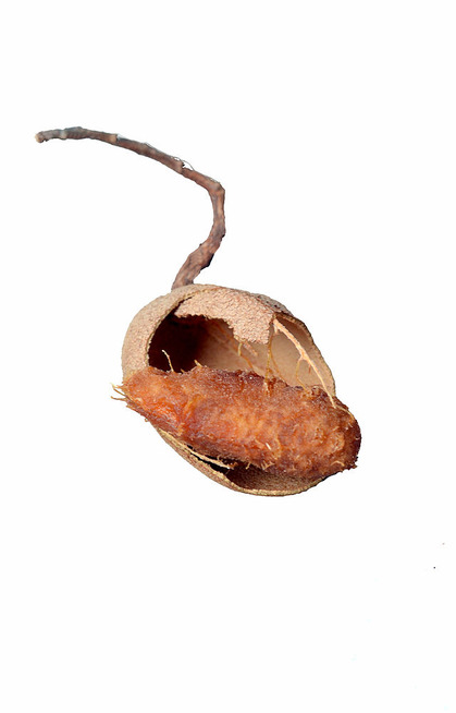Tamarind_fruit