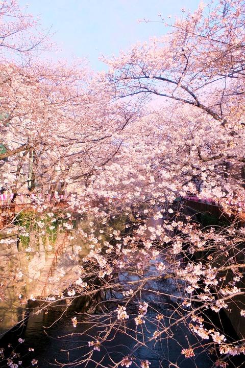 20140329SakuraSaku