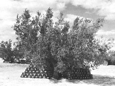 AMMUNITION STORED UNDER TREES NEAR SBEÏTLA