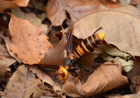 sスズメバチの女王蜂DSC_1692