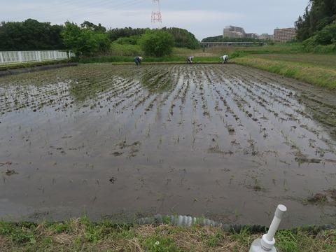 2021-05-05青菅実験田補植