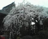 見事な枝垂桜♪