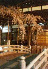 今度は夜桜♪