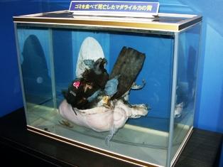 イルカの胃の標本