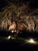 真鶴の枝垂桜
