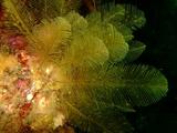 羽毛みたいな海藻