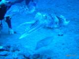 巨大なコブシメ