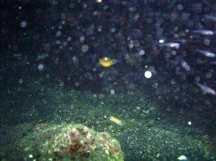ミナミハコフグ幼魚♪