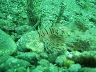 ハナミノカサゴの幼魚