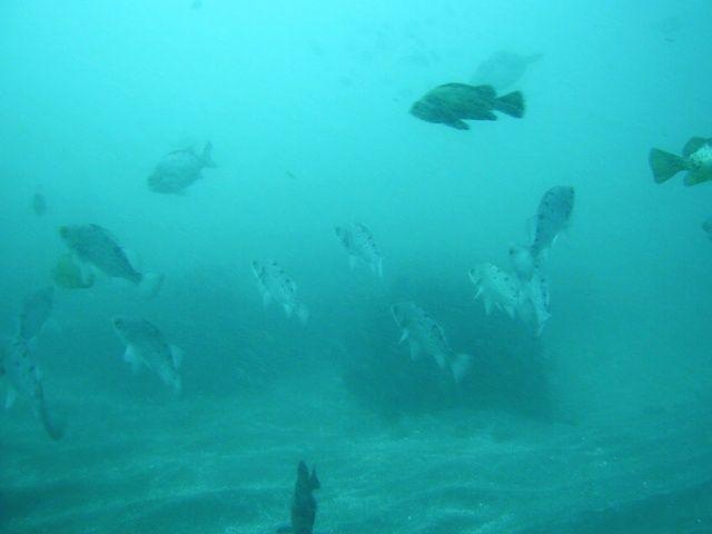 ドチザメ (2)