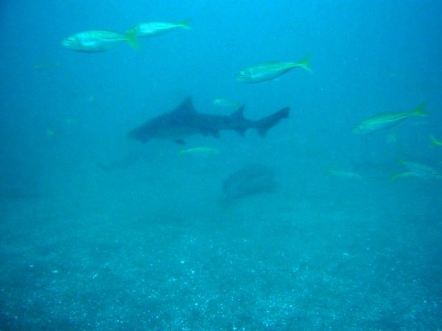 ドチザメ (4)