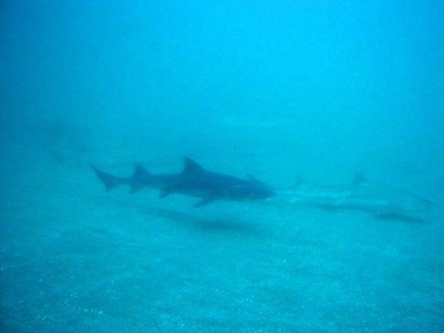 ドチザメ (1)