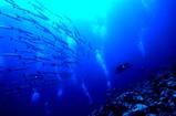 パラオでよく見る魚バラクーダ