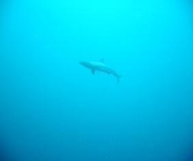 メジロザメ〜