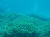 一面に広がるエダサンゴ