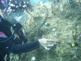 稚サンゴのプレートをボルトに乗せます