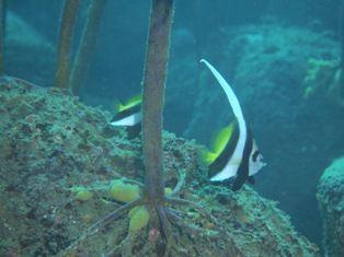 ハタタテダイ幼魚