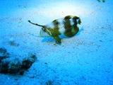 テンスの幼魚発見!