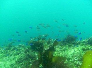 ソラスズメとホンベラの稚魚