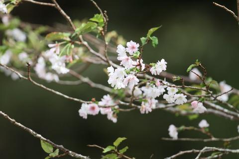 IMG_3175桜