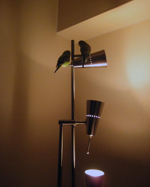 ランプとセキセイインコ
