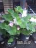 090701_不動寺本堂前・蓮の花