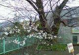 伊豆多賀駅桜