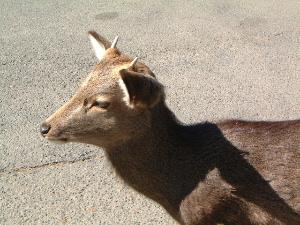 奈良公園の鹿 奈良の方言 おとろしい