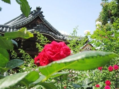 red-rose-love-affair